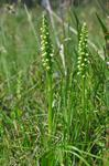 Small White Orchid, White Frog Orchid (Pseudorchis albida)